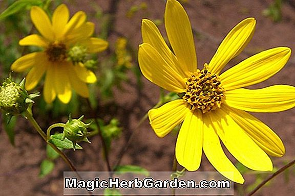 Helianthus - Tournesol vivace, Guide des plantes vivaces