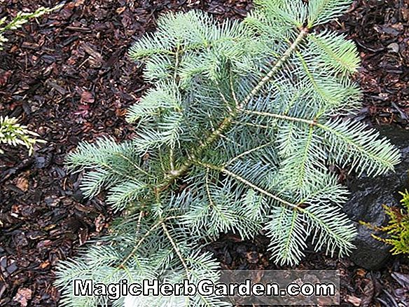 Abies concolor (Conica White Fir)