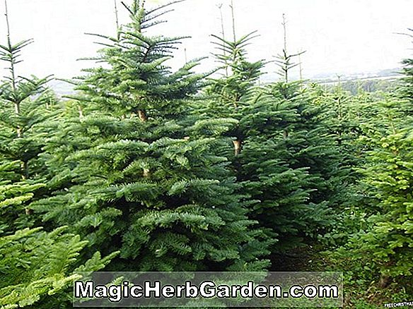 Abies concolor (Fastigiate White Fir)