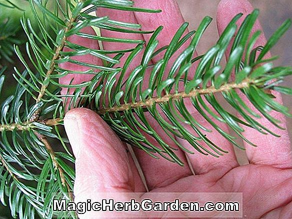 Tumbuhan: Abies concolor (Pendula White Fir)