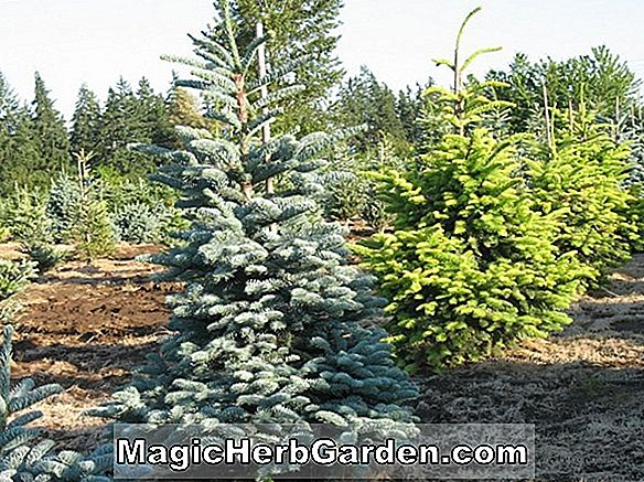 Plantes: Abies concolor (Pyramidalis White Fir)
