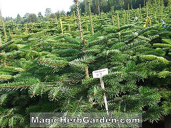 Abies fargesii (Sapin des Farges)