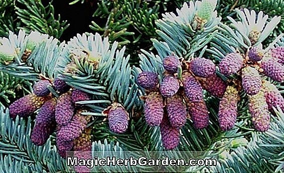 Abies procera (Glauca Nana Noble Fir)