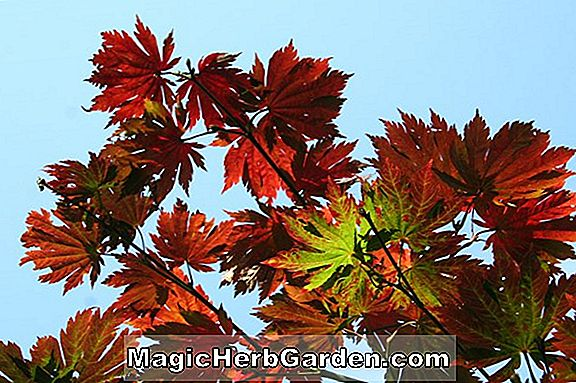 Tumbuhan: Acer (Maple)