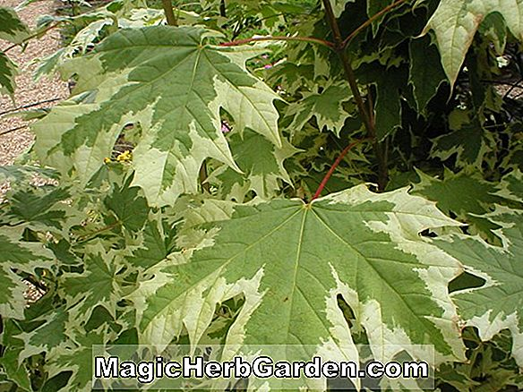 Tumbuhan: Acer platanoides (Crimson King Norway Maple)