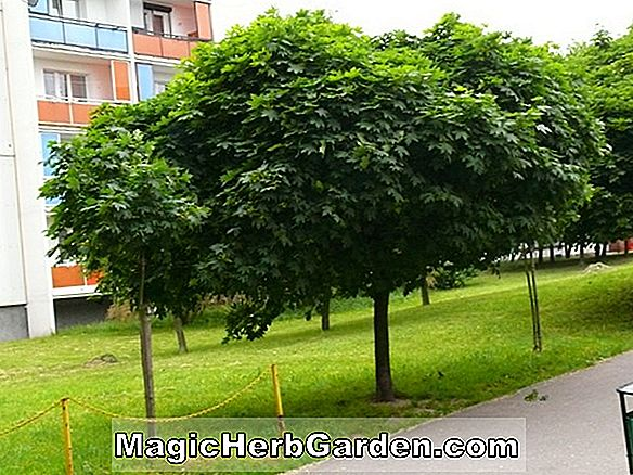 Plantes: Acer platanoides (Globosum Norway Maple)
