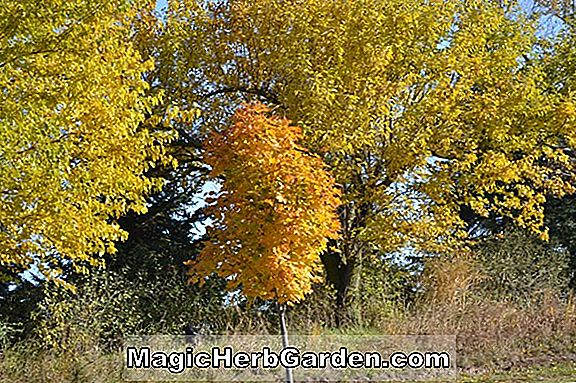 Plantes: Acer platanoides (Deborah Norway Maple)