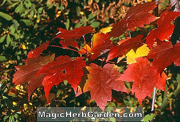 Acer rubrum (Érable Rouge Phipps Farm)