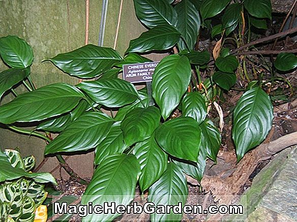 Aglaonema modestum (Silver Queen chinoise Evergreen)