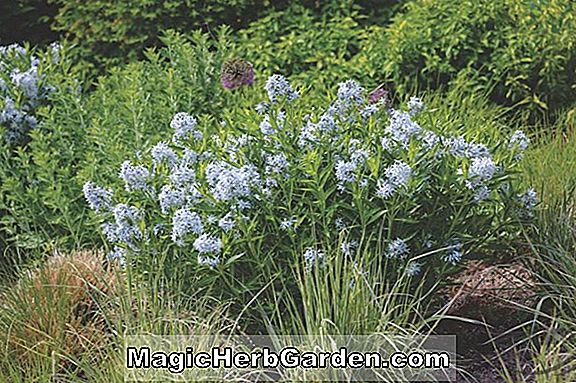 Plantes: Amsonia tabernaemontana (Salicifolia Willow Blue Star)