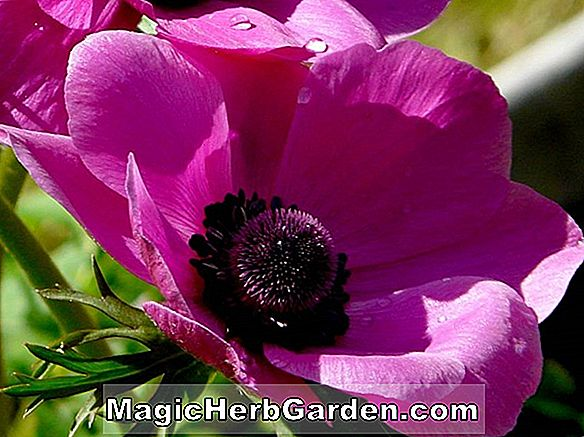 Anemone coronaria (Son Excellence Windflower)