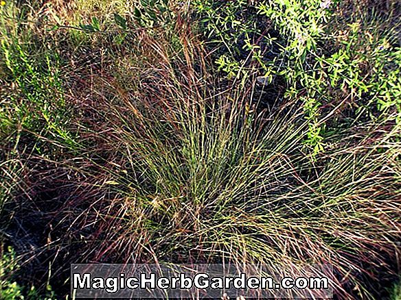 Plantes: Aristida purpurea (Purple Three-awn)