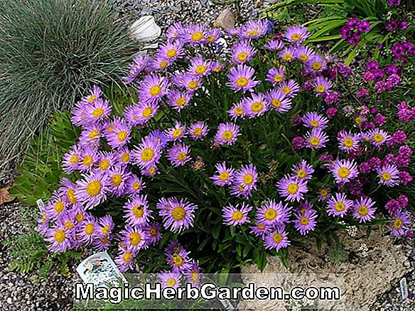 Plantes: Aster Alpinus (Dark Beauty)