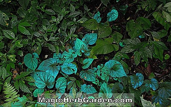Plantes: Bégonia Blue Lake (Bégonia Blue Lake) - #2
