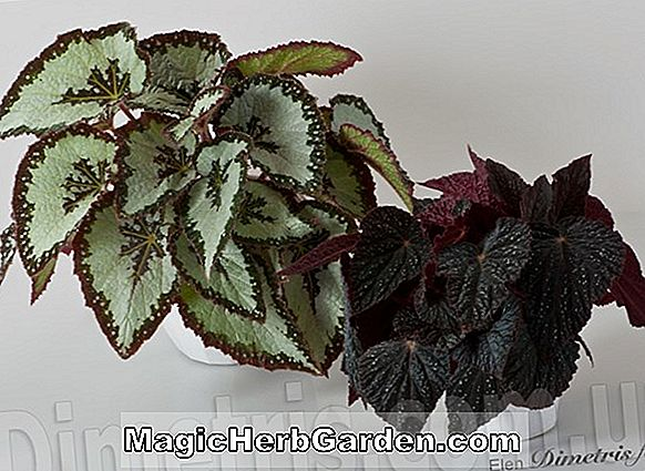 Begonia Cosmo (Cosmo Begonia)
