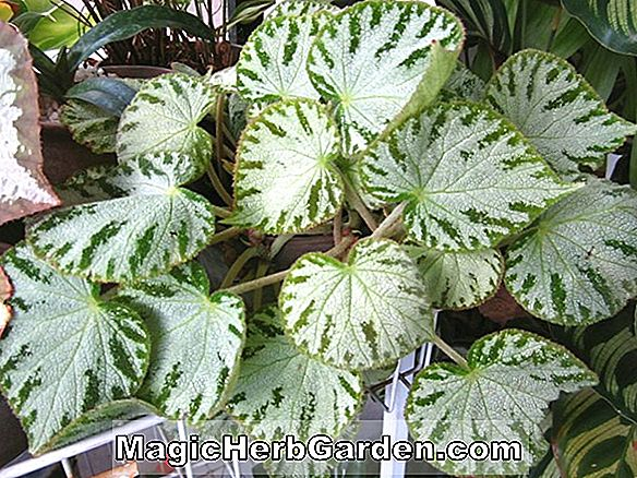 Begonia Ruby Jewel (Ruby Jewel Begonia)