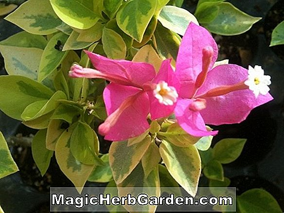 Bougainvillier (James Walker Bougainvillea)