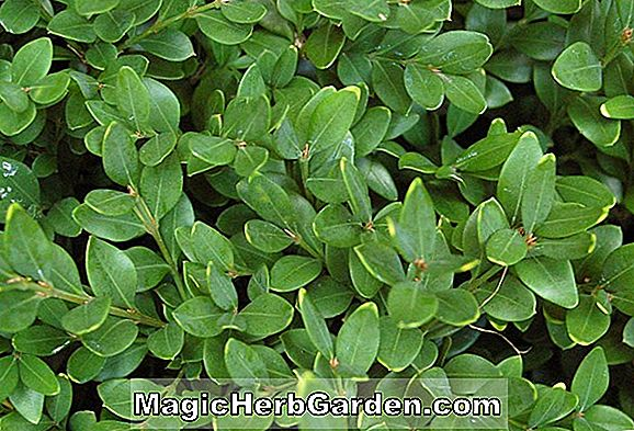 Buxus sempervirens (buis Pullman Common) - #2