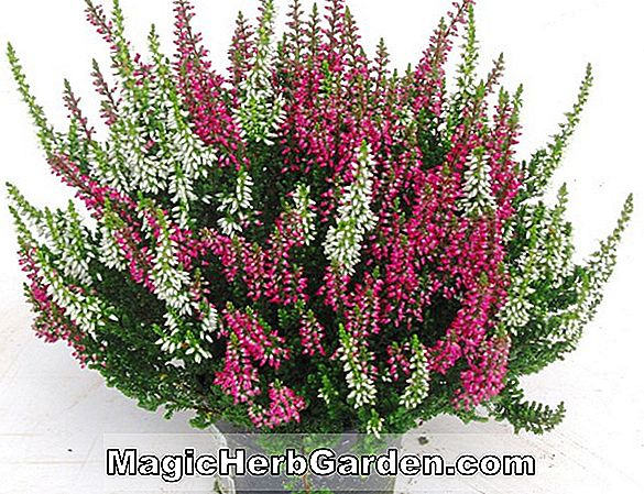 Calluna vulgaris (soeur Anne Heather) - #2