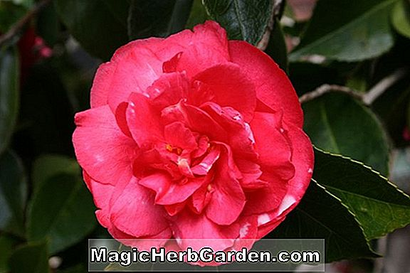 Camellia japonica (Powell's Pink Camellia) - #2