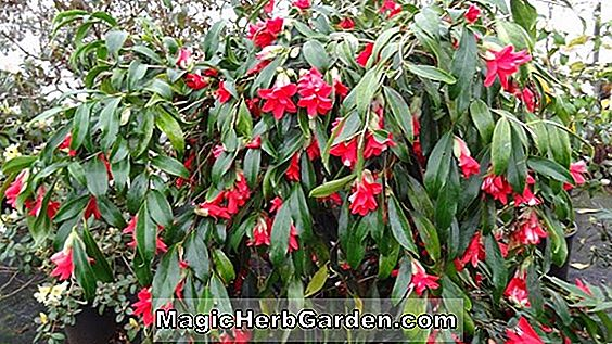 Camellia japonica (Jolly Roger Camellia) - #2
