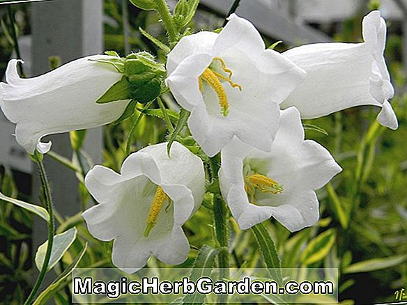 Campanula carpatica (Blaue Clips Bellflower)