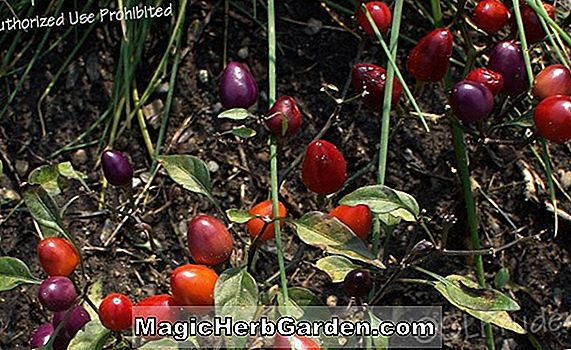Capsicum annuum (Pretty in Purple Capsicum Pepper)