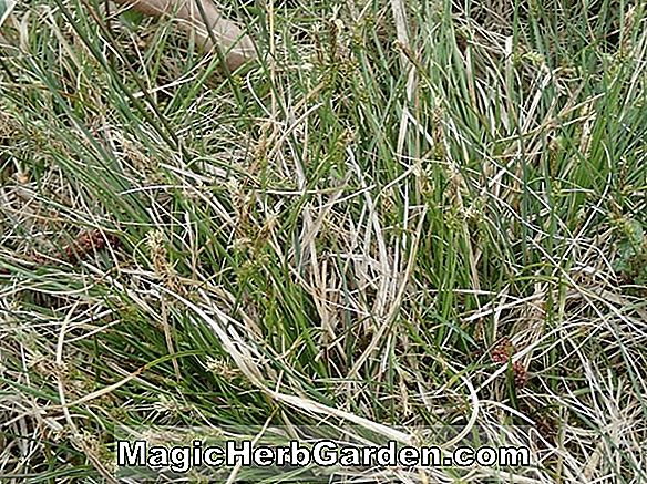 Carex pilulifera (Carex sedge de Tinney's Princess)