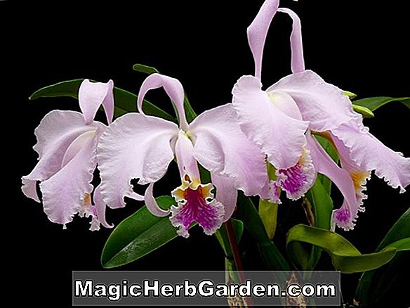 Cattleya mossiae (Orchidée Cattleya)