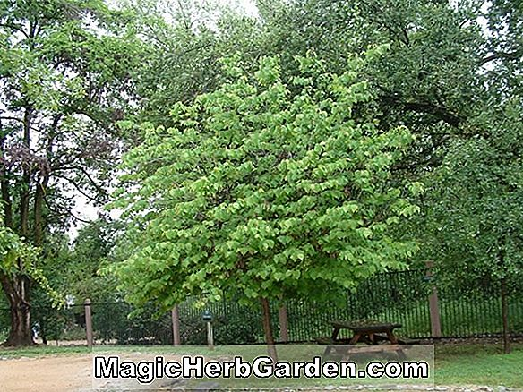 Cercis canadensis (Silver White Eastern Redbud)