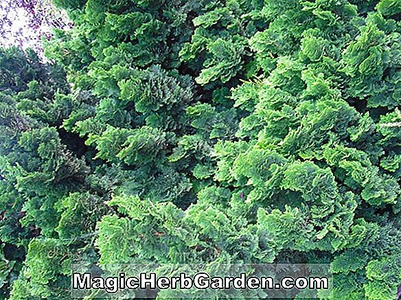 Chamaecyparis obtusa (Rigida Hinoki False Cypress)