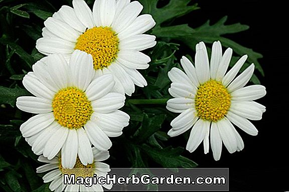 Chrysanthemum frutescens (Marguerite Daisy Blanche Naine)