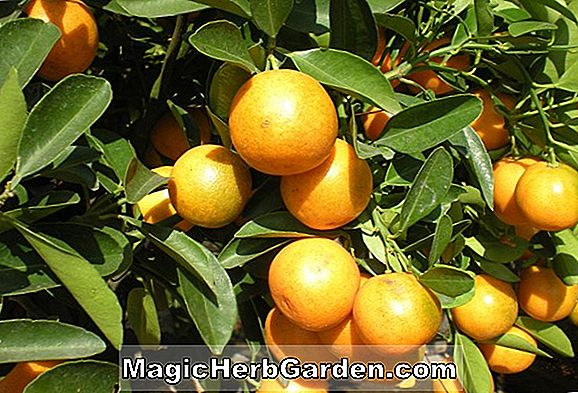Citrus sinensis (Citrus orange de Valence)