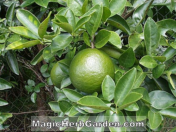 Citrus (King Tangor)