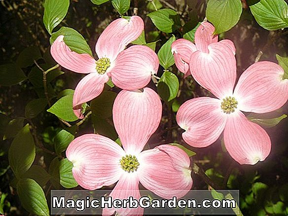 Cornus florida (cornouiller fleuri du New Hampshire)