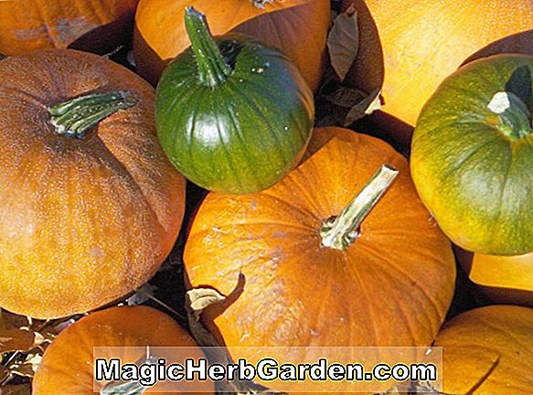 Cucurbita moschata (courge patate douce du Tennessee)