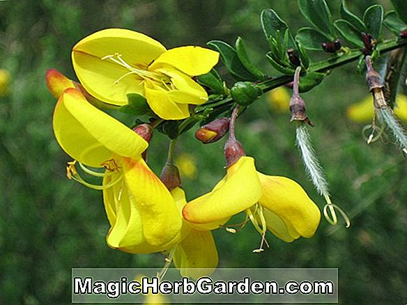 Cytisus scoparius (Balai Scotch Minstead)