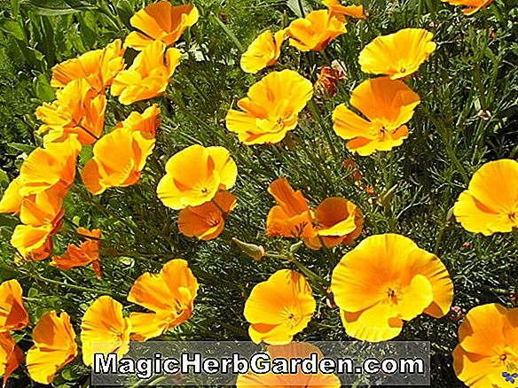 Eschscholzia californica (Enchantress Poppy)
