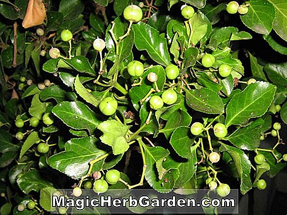 Euonymus japonica (arbre central en or) - #2
