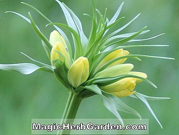 Fritillaria imperialis (couronne impériale fritillaire)