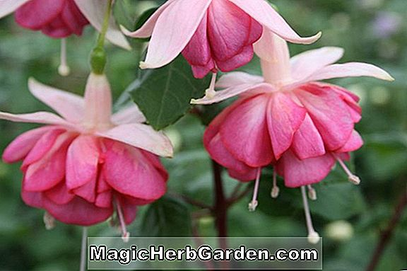 Plantes: Fuchsia (Harry Grey Fuchsia) - #2