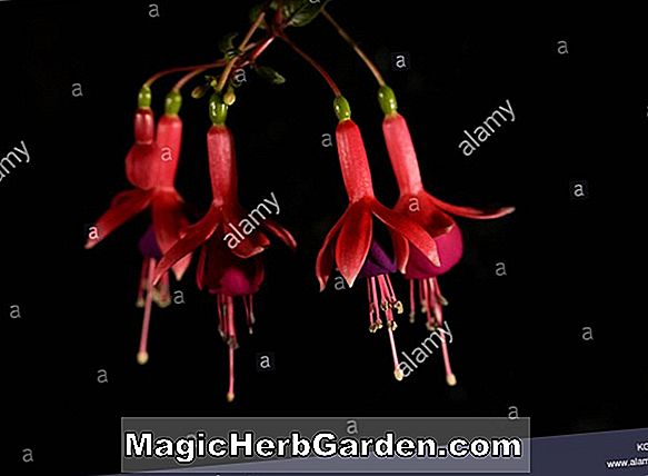 Fuchsia ('Money Spinner' Fuchsia) - #2