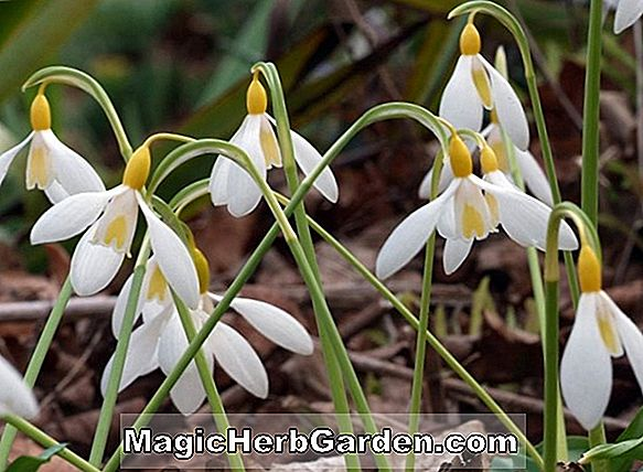 Galanthus gracilis (perce-neige)