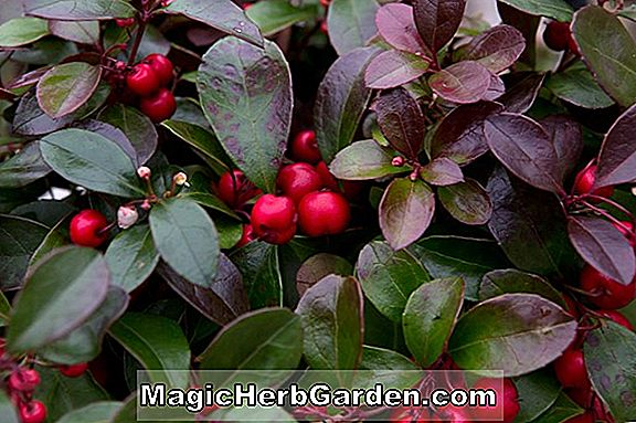 Tumbuhan: Gaultheria procumbens (Checkerberry)