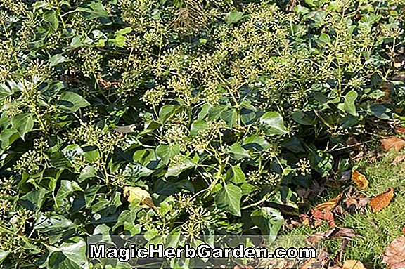 Hedera helix (Irish Lace English Ivy) - #2
