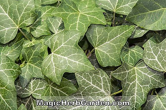 Hélice d'Hedera (Maple Leaf English Ivy) - #2