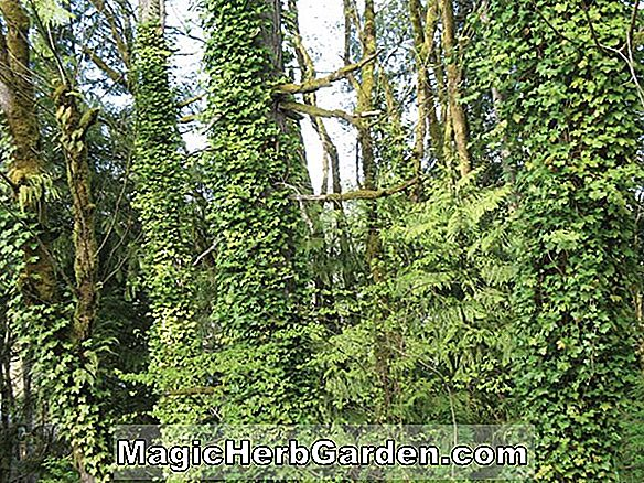 Hedera helix (Pittsburgh English Ivy)