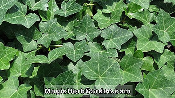 Hedera helix (Thorndale English Ivy) - #2