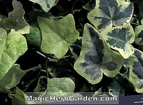 Hedera helix (California English Ivy) - #2