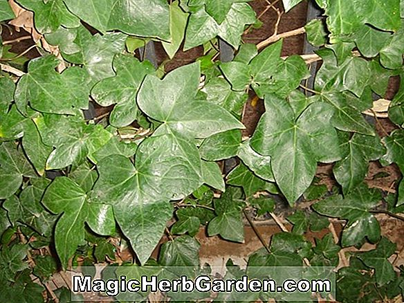 Hedera helix (Dragon Claw Anglais Ivy) - #2
